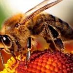 800px-Bee-apis-300x200