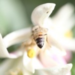 Lemon Blossom Bee
