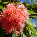 Corymbia_ficifolia_1