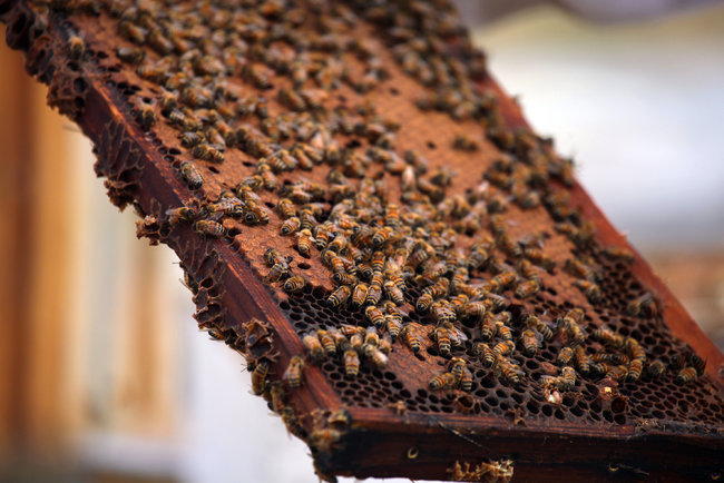 Bees on a honeycomb pulled from a hive at Big Sky Honey. Photo Credit: Jim Wilson/The New York Times